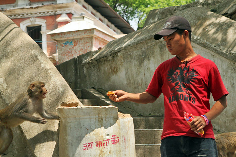 Aggressive monkeys at Pashupatinath Temple in Kathmandu, Nepal will steal food whenever possible