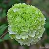 """MOPHEAD HYDRANGEA"" (aka ""Hortensia"" and ""Hydrangea macrophylla"")"