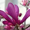 """""""POWERFULLY PURPLE"""" (Japanese Magnolias, Saucer Magnolias)"""