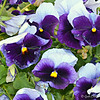 """POWERFULLY PURPLE PANSIES"""
