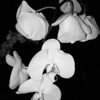 """""""ORCHIDS"""" (The Metamorphosis)"""