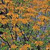 """RHODODENDRON AUSTRINUM"" (aka ""Orange Azaleas,"" ""Florida Flame Azaleas,"" and ""Native Azaleas"")"