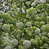 """GREAT BALLS OF HYDRANGEAS"""