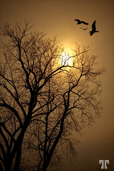 Almost dark  Tree branches and birds silhouetted against a pale sun shining through dense fog. Ottawa Canada (xx)  December 11, 09