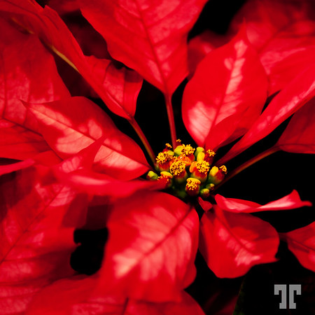 December 10, 09  Poinsettia