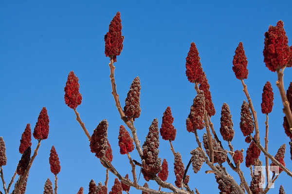 Staghorn Sumac plants for the second day of spring... YAY!!! :)  Thank you arctangent again :)