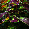 """PURPLE AND GREEN COLEUS LEAVES"" (aka ""Solenostemon scutellarioides"")"