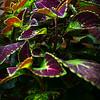 """PURPLE AND GREEN COLEUS LEAVES"" (aka ""Solenostemon scutellarioides"")"