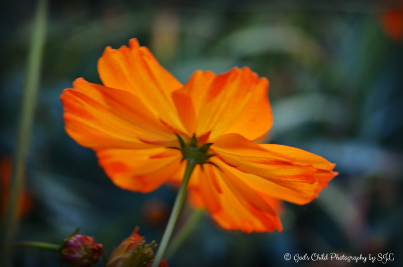 """COSMOS SULPHUREUS WILDFLOWER (aka Cosmos ""Bright Lights"")"