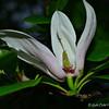 """MAGNOLIA LILIIFLORA"" (aka ""Japanese Magnolia"" and ""Saucer Magnolia"")"