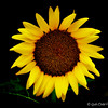 """SUN-SATIONAL SUNFLOWER"" (aka ""Helianthus"")"