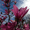 """JAPANESE MAGNOLIA'S IN THE 'V' FAMILY'S YARD"