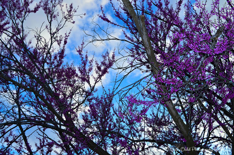 """PURPLE REDBUDS"""