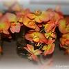 """FALL STREAM AHEAD"" (Asconopsis Irene Dobkin 'Elmhurst' Orchids)"