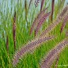 """PURPLE FOUNTAIN GRASS"""