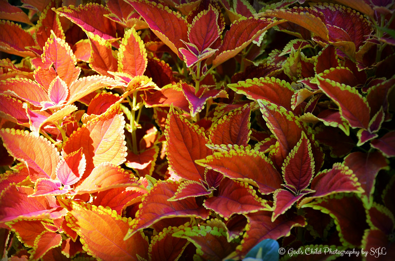 """COLEUS LEAVES EMITTED BY LIGHT"""