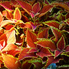 """RUSTIC ORANGE COLEUS LEAVES"" (Solenostemon scutellarioides, Vulcan)"