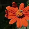"""ORANGE CRUSH"" (""Cosmos Sulphureus Wildflower""  - aka ""Cosmos Bright Lights"")"