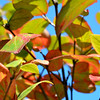 First Hint of Fall Colors<br /> <br /> Daily Photos  -  September 27, 2011<br /> <br /> Well, I'd have to say that this is my favorite time of year in Chicago! Cool crisp air, no mosquitoes, and the first signs of those beautiful and vibrant fall colors starting to show up!  Can't wait for the fall foliage to really start changing over...