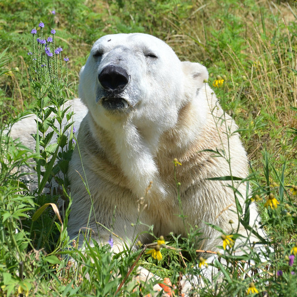 """Polar Bear - """"I just don't understand why they keep giving me these crappy little carrots when there's a moving buffet line right there!""""<br /> <br /> Daily Photos  -  July 13, 2012"""