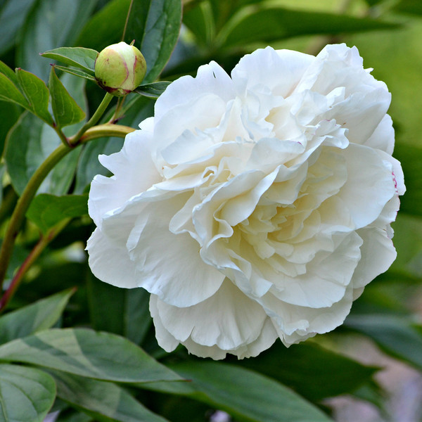 Daily Photos  -  May 29, 2012<br /> <br /> White Peony w/ bud