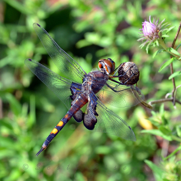 Dragonfly<br /> <br /> September 6, 2011<br /> <br /> I almost walked right into this little guy before I saw him. My presence either didn't bother him, or he felt like posing for the camera, because he didn't budge!