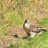 "Close Encounter with a Red-tailed Hawk  Daily Photos  -  October 3, 2011  I was at a local conservation area this weekend working on a close up of some prairie flowers (which I'll post tomorrow) when this Red-tailed Hawk dropped about 15 feet away from me and started in on some very unfortunate little creature... Shocked the absolute snot out of me!!! These birds look formidable when you see them circling high above, but when they're taking care of business 15 feet away from you, they are intimidating as hell! I snapped a few shots which drew his attention away from his lunch and onto me. He turned and actually stared me down for a good 15 seconds before he took a few more bites of his meal and finally decided to retreat to a nearby perch!!! If looks could kill, I think he would have ended up having me for lunch instead! lol!!!  I posted two other shots from this encounter in another of my galleries.  <a href=""http://www.eisenphotography.com/Nature/Naturescape/15973020_JSr5Zb#1510211556_wRp3dwk-A-LB"" title=""""><img src=""http://www.eisenphotography.com/Nature/Naturescape/i-wRp3dwk/0/L/DSC35961-L.jpg"" title="""" alt="""">Nature Gallery</a> The first shot is of his open beak as he is about to ""dine."" In the second shot, the hawk has retreated to a treetop perch about 20 yards away. His stare was intently locked between me and the location of his kill. It's rude to interrupt someone when they are eating, so I moved on and let him enjoy the rest of his lunch...     I was using my 18-105mm for the close up work, so I couldn't get as tight in on this guy as I would have liked. As a result, the image is pretty heavily cropped. sorry about that..."