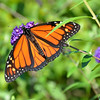 Monarch<br /> <br /> Daily Photos  -  November 9, 2011<br /> <br /> Pulled this out of the shots I archived this summer...