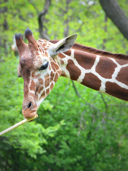 A majestic giraffe enjoys a tasty treat at the Brookfield Zoo in Chicago.
