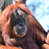 Orangutan<br /> <br /> Daily Photos  -  July 12, 2012<br /> <br /> Photo taken at the Como Park Zoo, St. Paul, MN