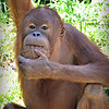 Snacking Orangutan <br /> <br /> Daily Photos  -  July 16, 2012