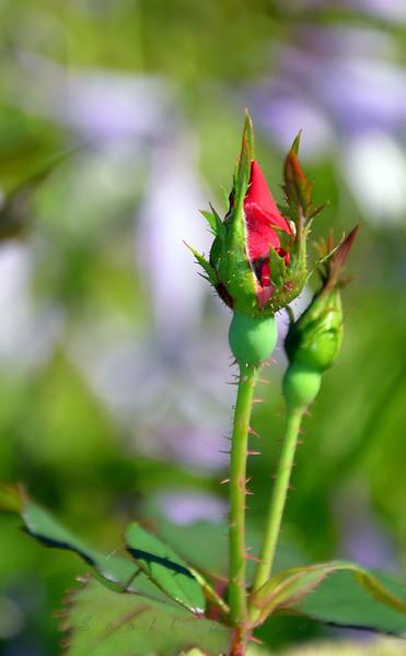 Rosebud<br /> <br /> Daily Photos  -  September 7, 2011