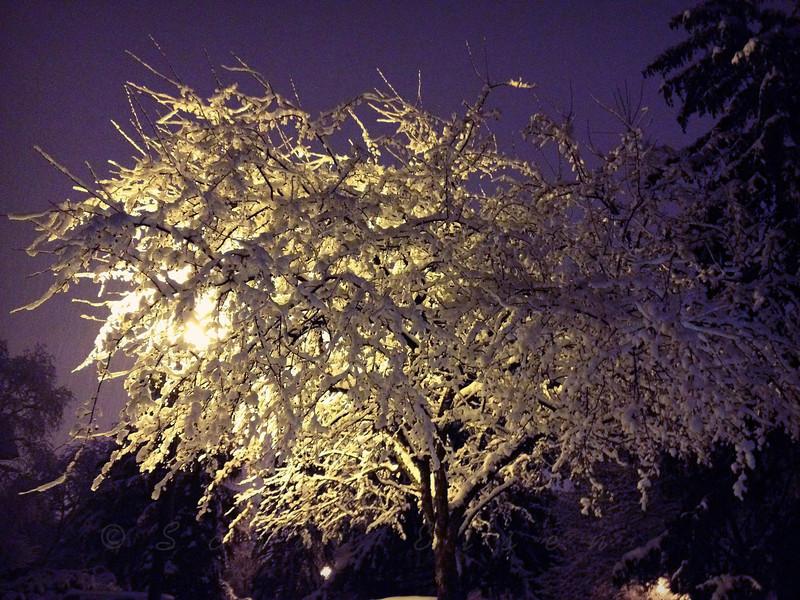 Snowy Tree<br /> <br /> Daily Photo - February 11, 2013