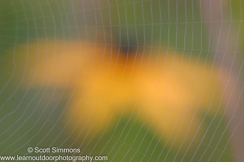 Black-eyed Susan with Spider Web