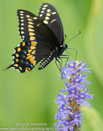 Black Swallowtali