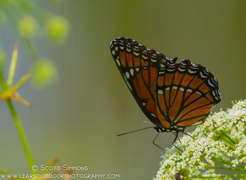 Viceroy (Limenitis archippus)