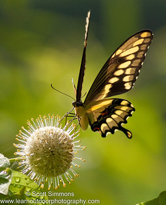 Swallowtails (Papilionidae)