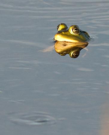 Pig Frog