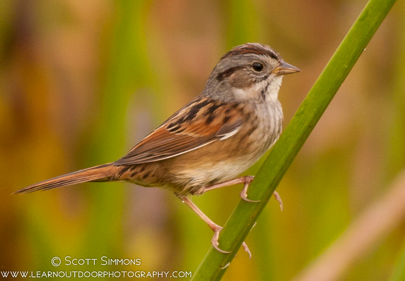 Swamp Sparrow Weirdness