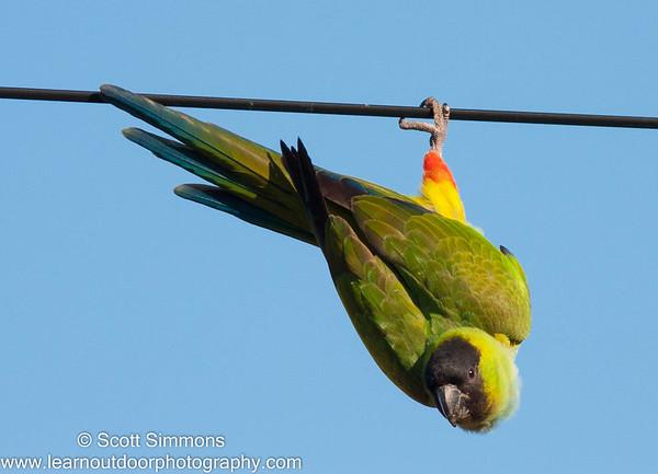 Parakeets & Parrots