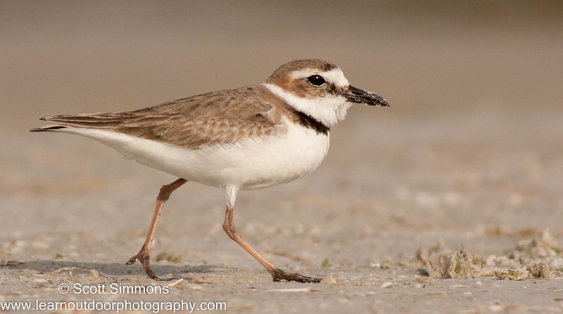 Florida's Little Plovers