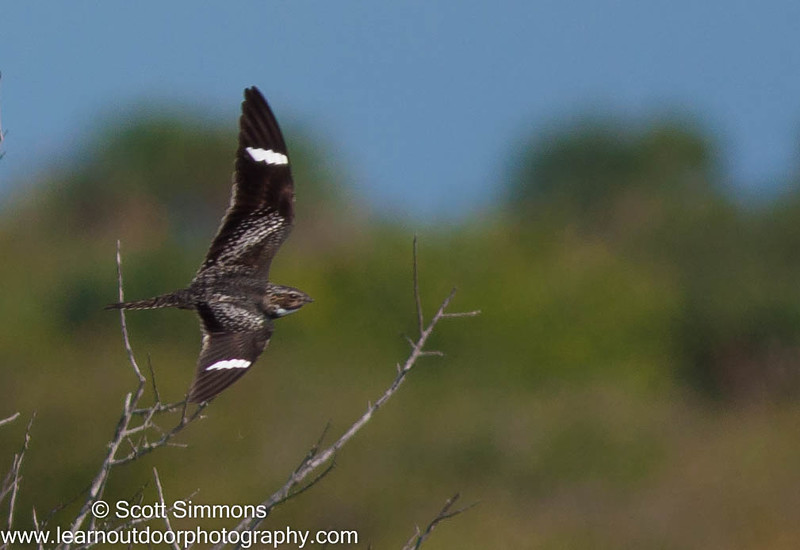 Common Nighthawk: ABA Bird of the Year