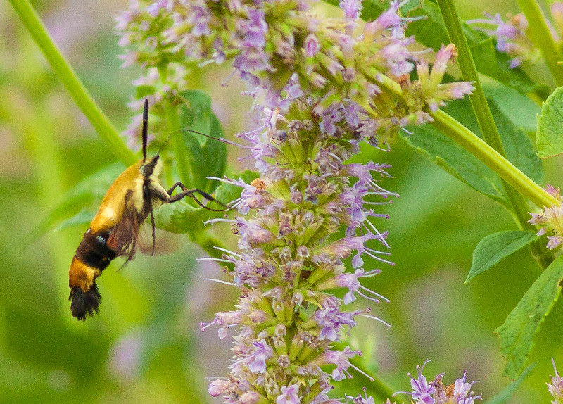 Humminbird Clearwing Moth