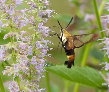 Humminbird Clearwing Moth