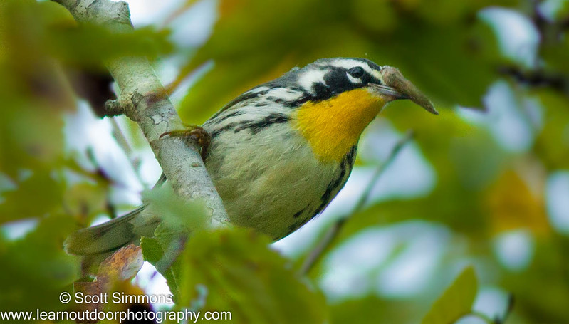 Yellow-throated Warbler (white lored)