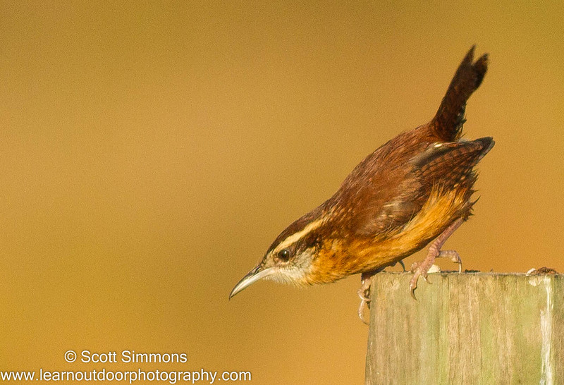 Identifying Florida's Wrens