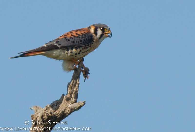 American Kestrel with Lunch