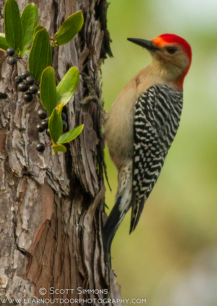 Red-bellied Woodpecker with Berry