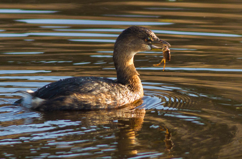 Pied-billed Grebe with Crab