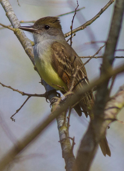 Brown-crested Flycatcher at Lake Apopka, 1/26/2013